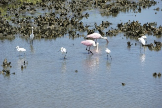 I love these crazy pink birds (roseate spoonbills)