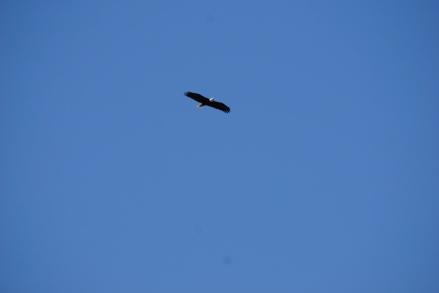 Hello, I am a bald eagle.